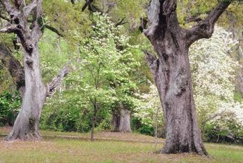 Kousa dogwoods thrive along the edge of the woodland, where they receive full sun or partial shade.