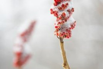 The sumac produces berries that last throughout the winter months and attract birds.