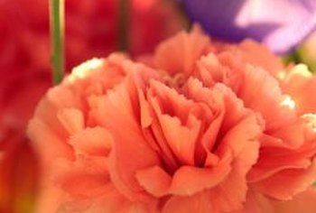 Carnations are commonly found in floral arrangements.