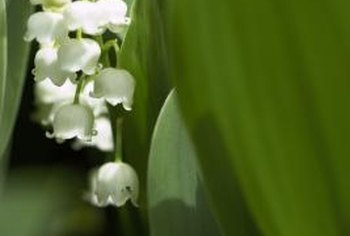 Lily of the valley produces small bell-shaped blossoms in spring.