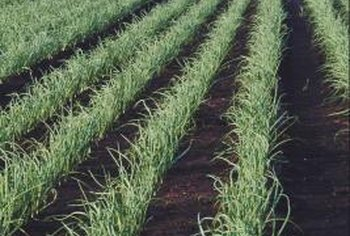 For successfully growing onions, day length matters.