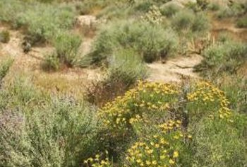 A creosote bush that is established in sandy soil needs no supplemental water.