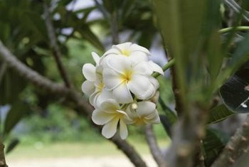Freshly rooted plumeria cuttings can bloom within one year.