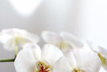 "White petals give Phalaenopsis orchids the nickname ""moth orchids."""