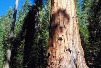Redwoods can be seriously harmed by salt exposure.