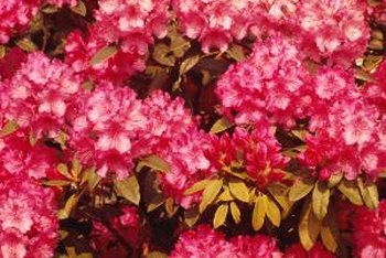 Rhododendrons prefer well-drained soil.