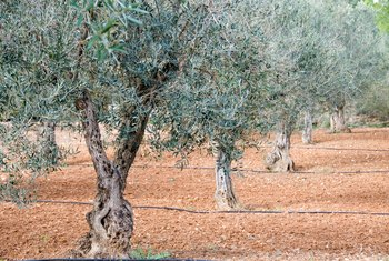 Olive trees grow slowly but for a very long time.