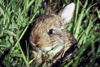 Small garden statues can be painted to resemble cottontail rabbits.