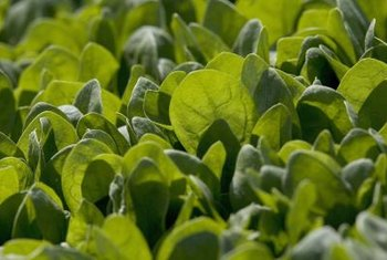 Harvest baby spinach leaves when they are 2 to 3 inches long.