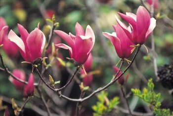 Tulip trees bloom in late winter and early spring.