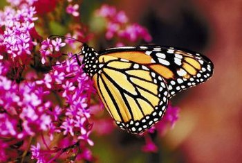 Attract butterflies to your garden by planting nectar-producing flowers.