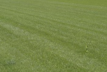 A weed-choked grass patch lacks the elegance of an uninterrupted expanse of grassy lawn.