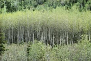 Trembling aspens grow in large groves in the wild.