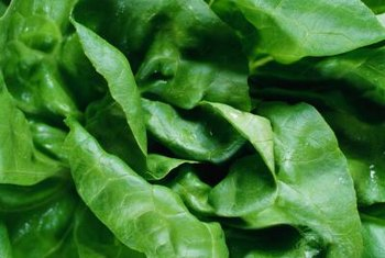 Butter lettuce leaves become progressively smaller toward the heart.