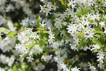 The white, fragrant flowers of star jasmine can almost hide the plant.