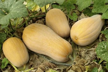 Butternut squash plants (Curcubita mopschata) are less attractive to squash bugs.