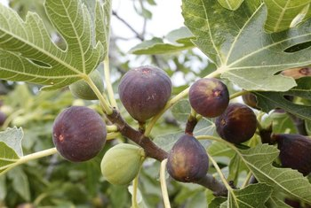 Figs turn browish-red as they ripen.