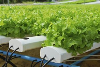 Loose-leaf lettuce thrives when grown in an NFT system.