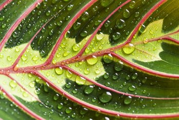 Prayer plant is native to the rainforests of Brazil.