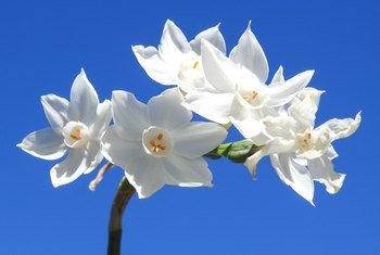 How to Make a Paperwhite Narcissus Bloom Again