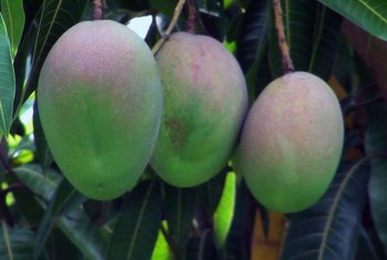 What Soil Is Best for a Mango Tree?