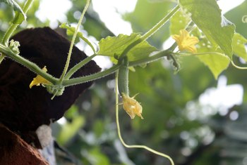How to Tell Male & Female Cucumber Plants