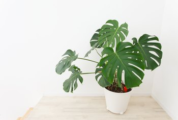 How to Prune a Monstera Deliciosa
