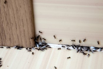 While you may not be concerned when a few ants roam across your patio, a few dozen ants gnawing on your garden plants or taking over your kitchen in search of food is another story.
