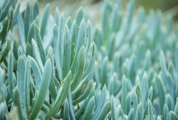 How to Care for a Blue Chalk Stick Succulent