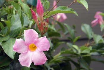 What Size Container Should I Use to Plant My Mandevilla?
