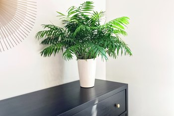 How to Care for Indoor Potted Majesty Palms