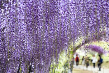 How Long Does It Take Before a Wisteria Plant Blooms for the First Time?