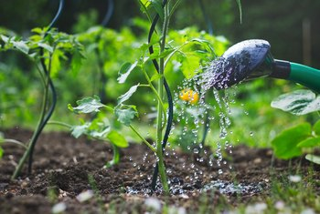 Signs & Symptoms of Overwatering Tomatoes
