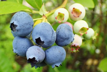 The Best Time to Plant a Blueberry Bush