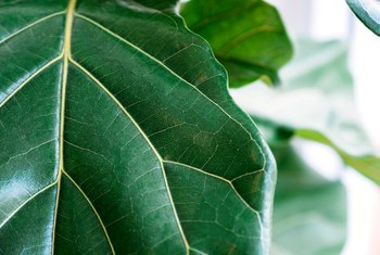 Fiddle-Leaf Ficus Leaves With Brown Spots