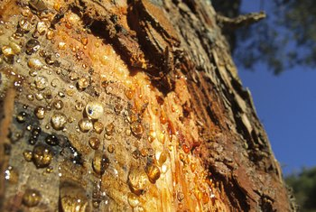 Trees That Drip a Lot of Sap