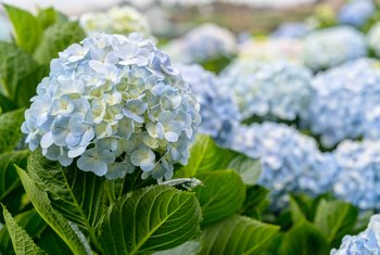 How to Deadhead Hydrangeas