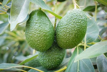 How Much Coldness Can Avocado Trees Take?