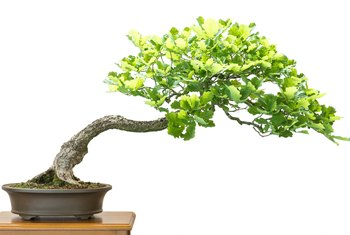 How to Make an Oak Bonsai Tree