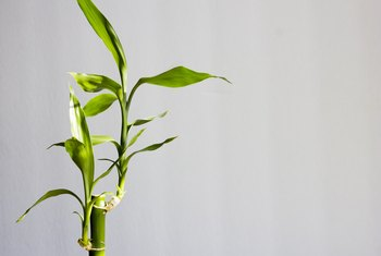How to Trim Lucky Bamboo Leaves to Encourage Growth