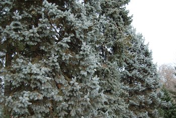 How to Trim Blue Spruce Evergreens