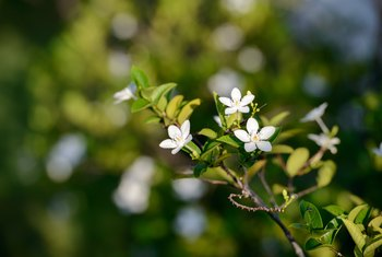 When Does White Jasmine Bloom?
