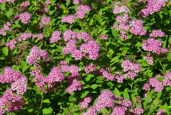 How to Prune Tips for Spirea Bushes
