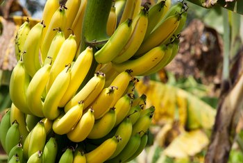 When to Cut Back Banana Plants After Freezing Weather