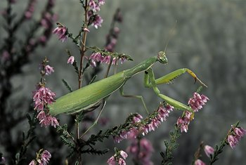 What Is the Benefit of Releasing a Praying Mantis in Your Garden?