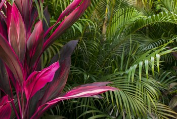 How to Care for Cordyline Terminalis