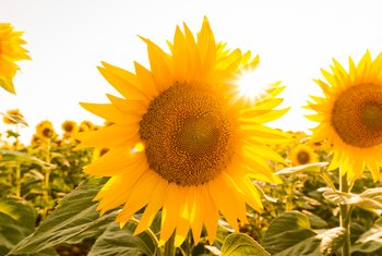 Do Sunflowers Grow More Than One Flower?