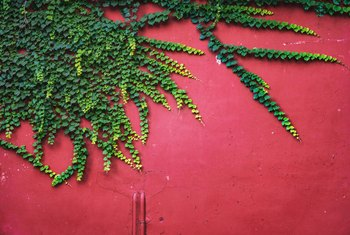How to Grow Ivy on Walls