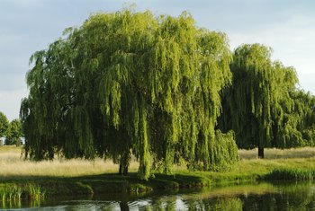 How to Tell If a Weeping Willow Tree Is Dead