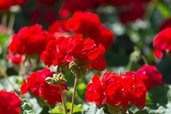 Minimum Temperatures for Geranium Plants
